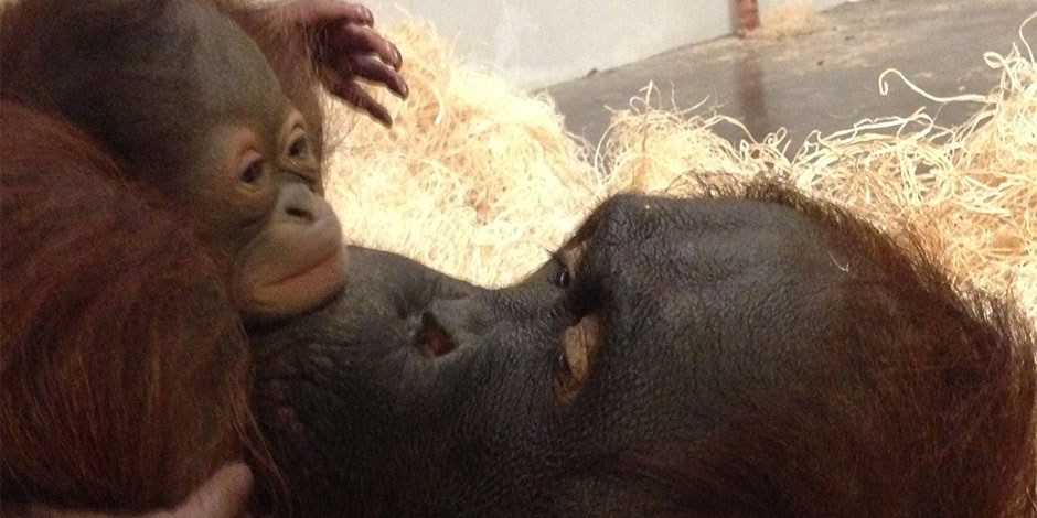 New mom Mei the orangutan gives her new baby boy a kiss
