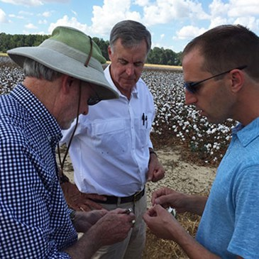 Three team members examine cotton plants in a field
