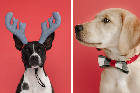Dogs model antler headbands and bow ties
