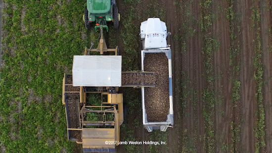 Overhead view of potatoes being loaded onto a truck in a field